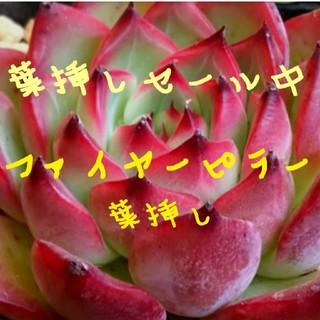 葉挿しセール❤ファイヤーピラー 3枚❤多肉植物❤エケベリア(その他)
