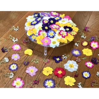 お花屋さんが作った春色プリムラと大人色アリッサムのお詰め合わせ山盛り70冠‼️(ドライフラワー)