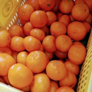 瀬戸田産 たまみ 稀少品種 箱込み5キロ(フルーツ)