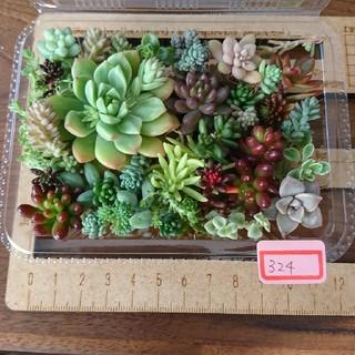 多肉植物 カット苗 324(その他)