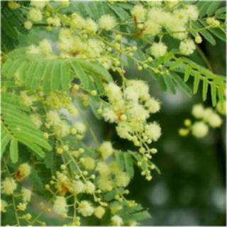 人気品種‼️  四季咲き!! ミモザアカシア  デアネイ  ポット苗‼️(その他)