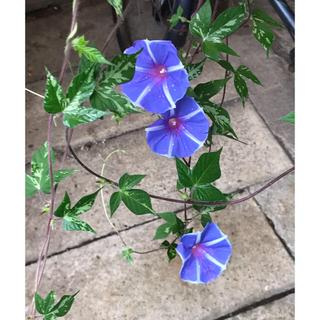 ② ●  即買いOK 「ハンキング朝顔」種 6粒 恋しぐれバイオレットブルー(その他)