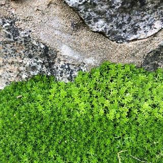 緑の絨毯❗️モリムラグリーン★ズボラ多肉生活(プランター)
