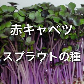 【有機種子オーガニック】赤キャベツスプラウトの種 10ml 家庭菜園 タネ(野菜)