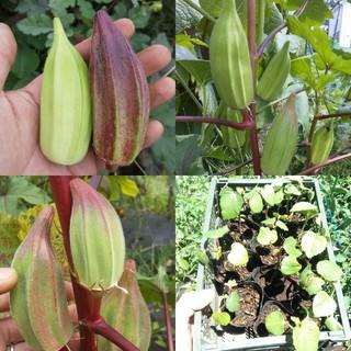 野菜の種 珍しいオクラの種セット ヒルカントリーレッド・ダビデの星など(その他)