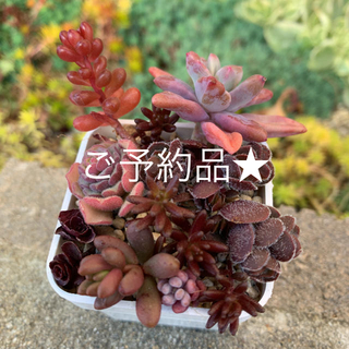 紫色系多肉植物 セット♡(その他)