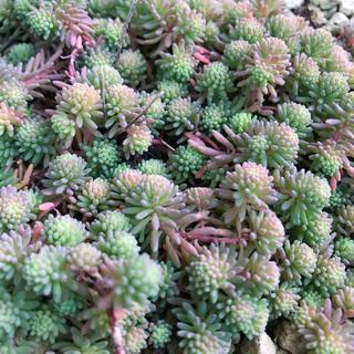 観葉植物 多肉植物 抜き苗50本以上 セダム  グリーンカーペット(その他)
