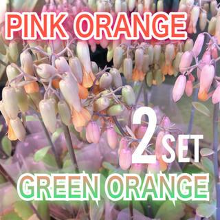 【送料込み】可愛い♡ベル型花♡カランコエ♡リンリン♡多肉植物♡鉢ごと発送♡(プランター)