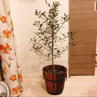 ACTUS - 観葉植物 オリーブ オリーブの木 シルバーリーフ