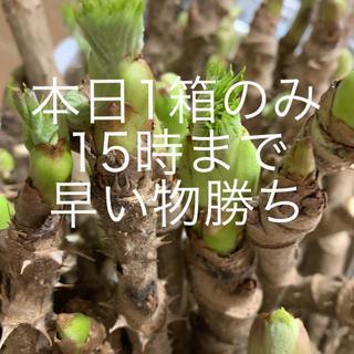たらの芽 水栽培 1番先の芽だけ。