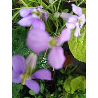 専用です。ムラサキハナナ( 紫花菜 ) 抜き苗5株とリュウキンカ(プランター)