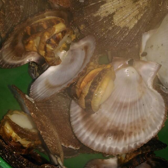 活 赤皿貝 約50まい 約4キロ 食品/飲料/酒の食品(魚介)の商品写真