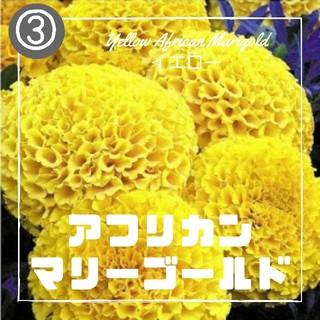 【マリーゴールド③】アフリカンマリーゴールド イエロー 種子30粒(その他)