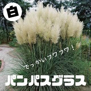 白パンパスグラス 種子30粒 (その他)