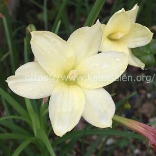 ゼフィランサス シトリナ 黄色い花の球根8球 イエロー レインリリー♪(その他)