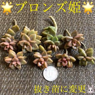 多肉植物、ぷりぷりブロンズ姫、抜き苗10+葉挿し10枚(芽が出たもの)(その他)