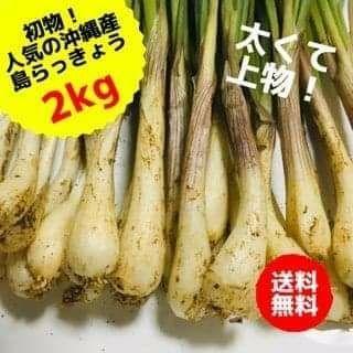 ここだけ!古宇利島産 産地直送 美ら島らっきょう 2kg(野菜)