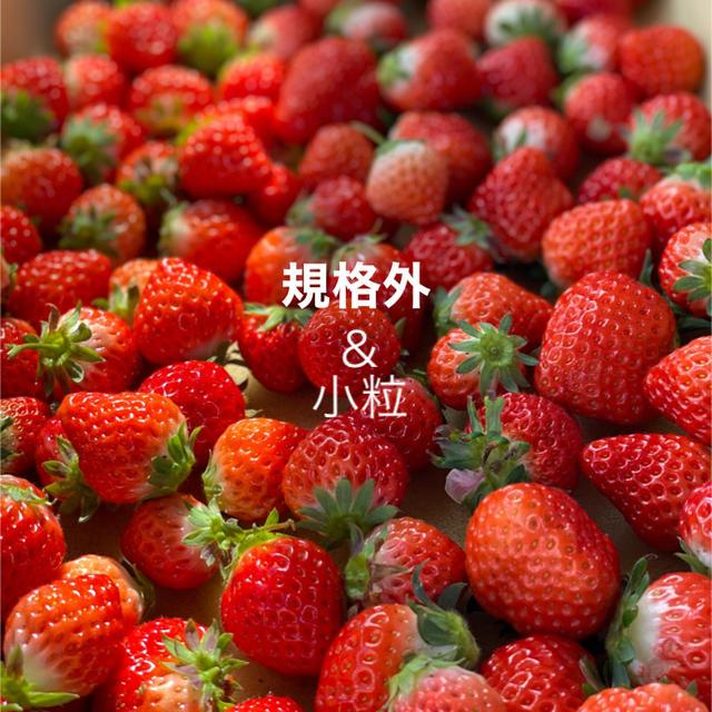 規格内、規格外バラ詰め●箱込2kg●さがほのか苺いちごイチゴ 食品/飲料/酒の食品(フルーツ)の商品写真