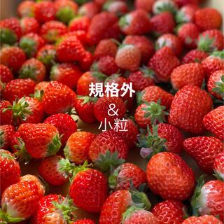 規格内、規格外●さがほのか箱込2kg●いちご苺イチゴ(フルーツ)