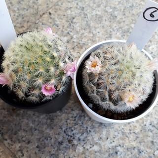 カルメナエ サボテン 多肉植物(その他)