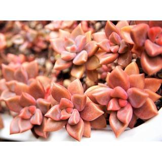 ブロンズ姫 カット芽4本 オマケ付き 紅葉する多肉植物(その他)