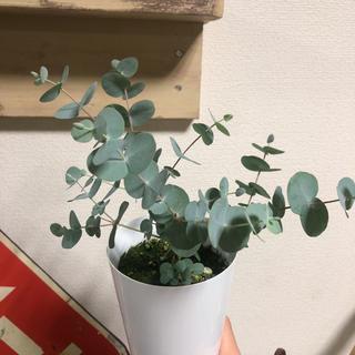 ポットごと*ユーカリ ベイビーブルー*観葉植物ハーブポポラスグニー銀世界(その他)