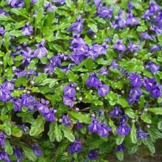 ヒメキランソウ 紫 10〜15株(プランター)