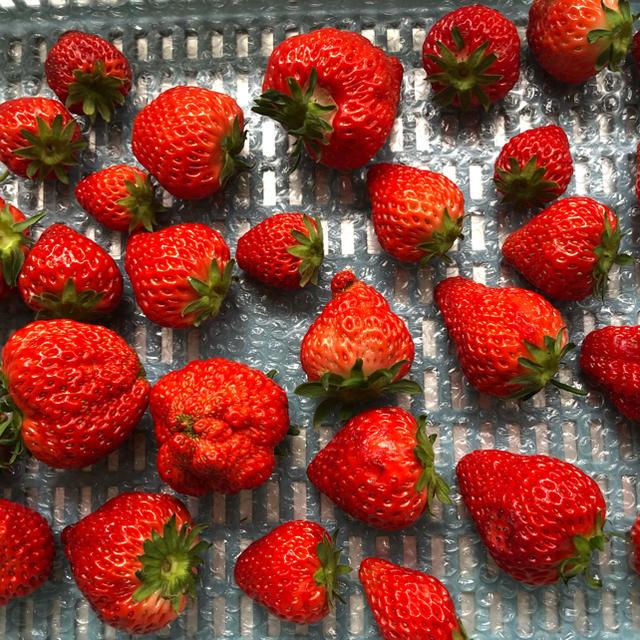 苺 規格外商品 (紅ほっぺ・章姫) 食品/飲料/酒の食品(フルーツ)の商品写真