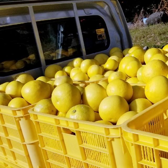 土佐文旦 減農薬 自宅用 20個(約10㎏)入り 食品/飲料/酒の食品(フルーツ)の商品写真