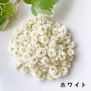 かすみ草 ドライフラワー・ホワイト(ドライフラワー)