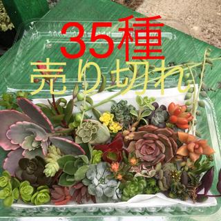 多肉植物 カット35種詰め合わせ(その他)
