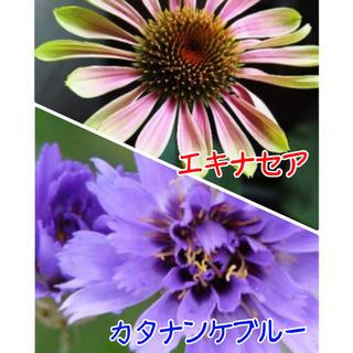 【人気】種 エキナセア & カタナンケ ブルー(その他)