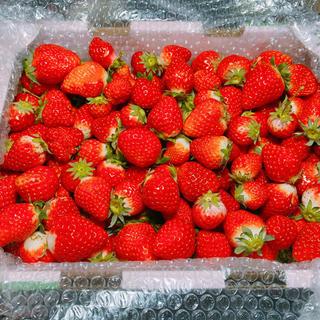 規格内、規格外さがほのか2kg●クール便●いちご苺イチゴ(フルーツ)