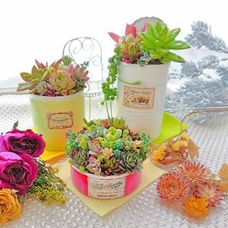 多肉植物 カラフルcolorリメ鉢 すぐ飾れる3点セット◎ (その他)