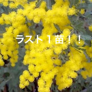大人気‼️  ミモザアカシア  銀葉アカシア  苗‼️  ポットごと!(その他)