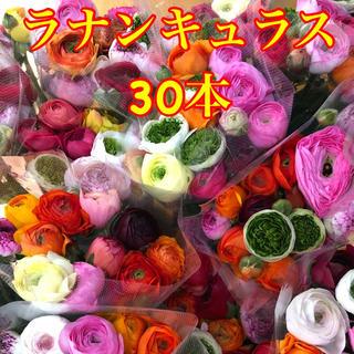 ラナンキュラス 30本 生花 切り花 送料込み  (その他)