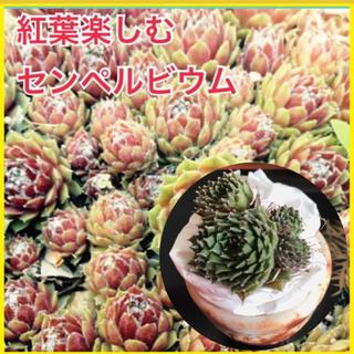 山分け❣️多肉植物 苗 センペルビウム 3-4苗 サボテン(その他)