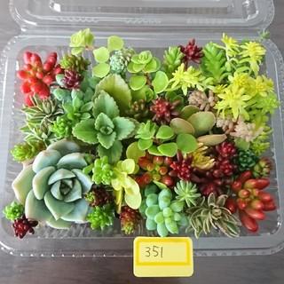 多肉植物 カット苗 351(その他)