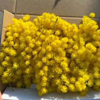 ミモザ ドライフラワー 素材 花材(ドライフラワー)