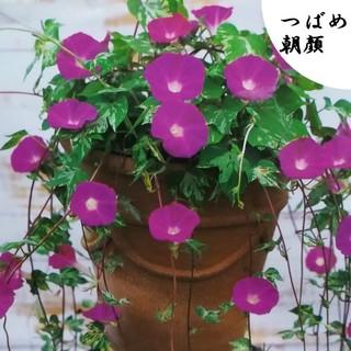 春まき花の種  朝顔「つばめ朝顔」の種を20粒以上(その他)