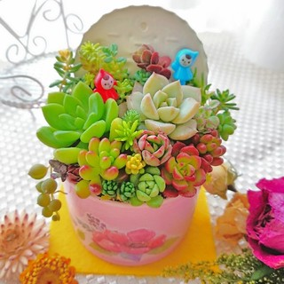 多肉植物 春の寄せ植え 小人達の多肉の森 ピンクリメ鉢 ミニGARDEN(その他)