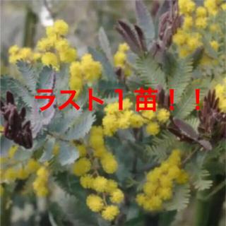 ミモザアカシア   プルプレア   苗 ポットごと‼️  新芽がパープル!!(その他)