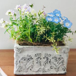 さわやかネモフィラと香りネメシアのアンティーク鉢 寄せ植え(その他)
