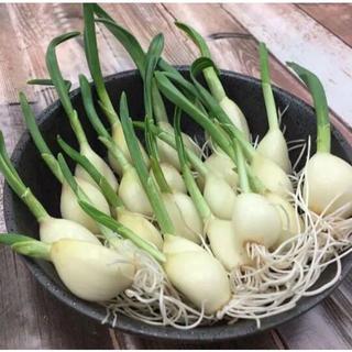 【超超大特価!】青森県産発芽スプラウトにんにく20本(野菜)