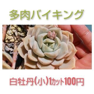 ★白牡丹(小)  カット苗 多肉植物(その他)