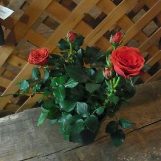 四季咲きミニバラモスクワ(赤)ローズフォーエバー根付き苗1株(その他)