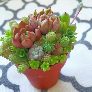 SALE!多肉植物 寄せ植え 1号鉢 ピンクルルビー、ベンバディス入り(その他)