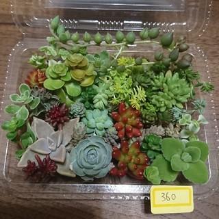 多肉植物 カット苗 360(その他)