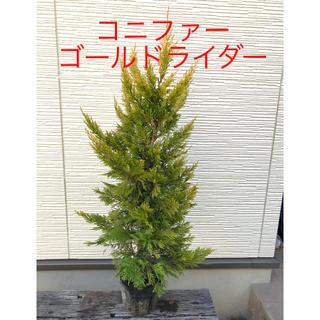 シンボルツリーに⭐️期間限定お値引中 コニファー ゴールドライダー 苗木(その他)