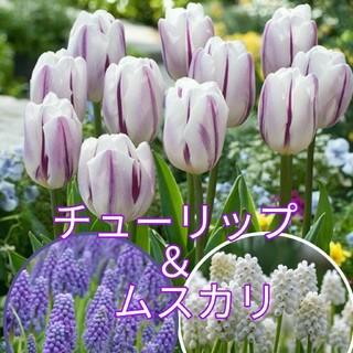 ムスカリおまけ❖フレーミングフラッグ3球(球根) チューリップ 紫 パープル 白(その他)